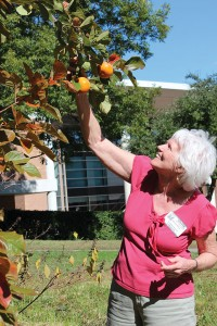THE GIVING TREE Retired Lower School art teacher Dee Mayes visits the kaki tree, which bore fruit for the first time during Hockaday's centennial week. Photo by Claire Fletcher