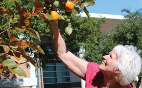 Tree Bears Persimmons for First Time