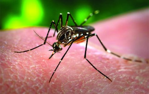 Aedes aegypti is one of mosquitoes that carries the Zika virus.//Photo provided by James Gathany