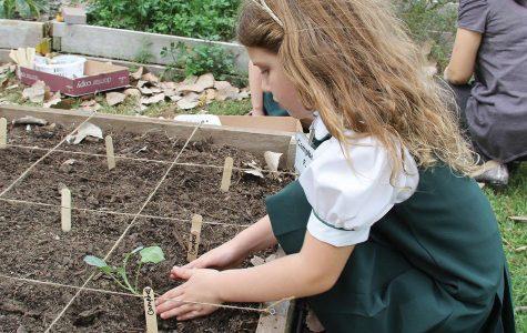 Lower School Daisies Growing in the Garden