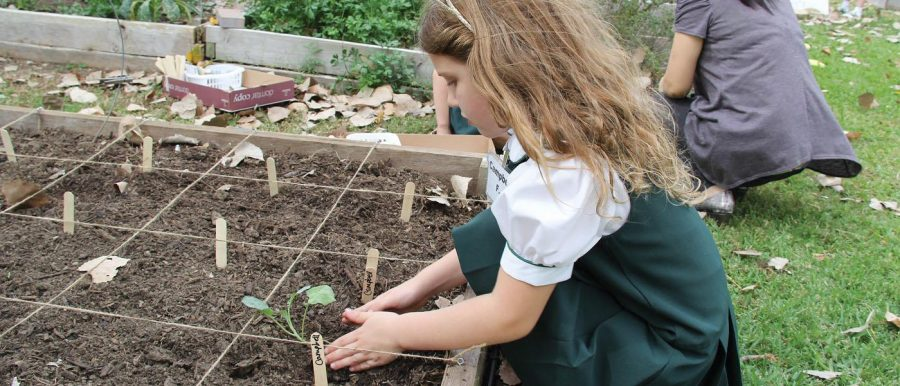 Lower School Daisies Growing in the Garden